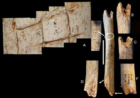 Fransa'da bulunan çocuk Neandertal kemik kalıntıları. Yuvarlak içerisinde kesme izleri gösterilmiş. telif : M. D. Garralda