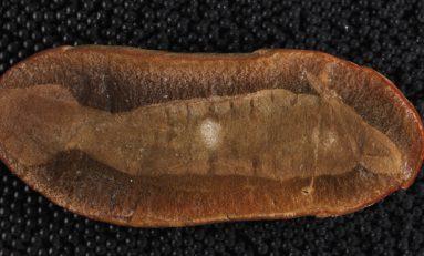 300 Milyon Yaşındaki 'Tully Monster'ın Omurgalı Olduğu Keşfedildi