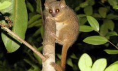 Madagaskar'da Üç Yeni Primat Türü Keşfedildi