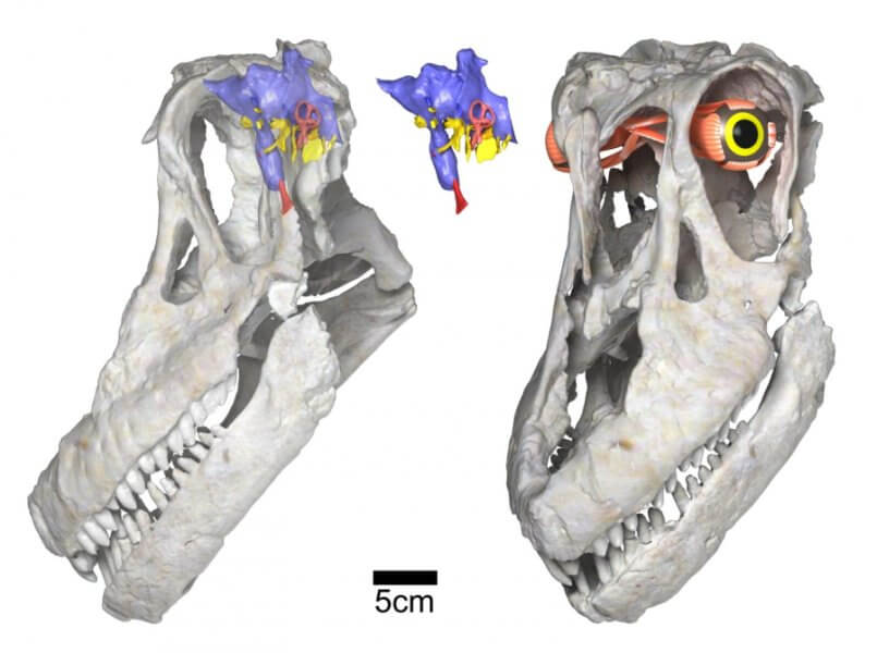 Sarmientosaurus head posture, brain & eye (WitmerLab): Digital renderings of the skull and reconstructed brain endocast and eye of the new titanosaurian dinosaur species Sarmientosaurus musacchioi. At left is the skull rendered semi-transparent in left side view, showing the relative size and position of the brain endocast (in blue, pink, yellow, and red) and the inferred habitual head posture. At center is the isolated brain endocast in left side view, and at right is a left/front view of the skull showing the reconstructed eyeball and its associated musculature. Scale bar equals five centimeters. Telif : WitmerLab, Ohio University