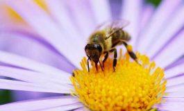 Arılar Çiçeklerin Elektrik Alanını Nasıl Algılar?