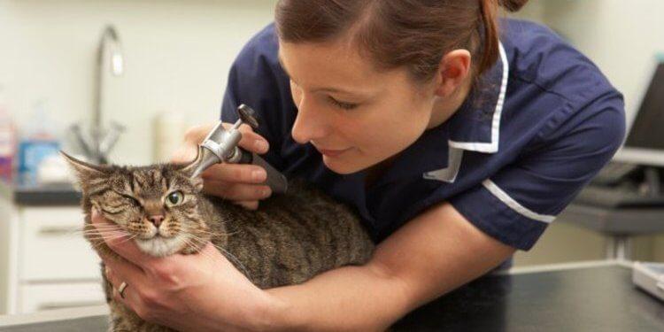 Kedileri Tehdit Eden FIP Hastalığı İçin Tedavi Geliştirildi