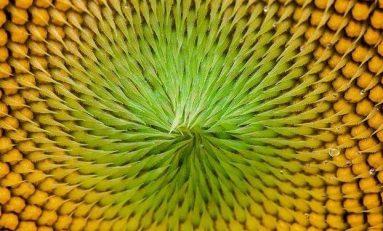 Doğanın Güzellik Ölçütü: Altın Oran