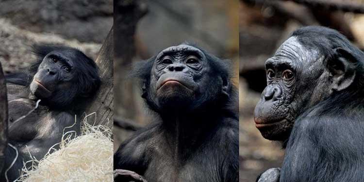 Kişilik Bakımından Bonobolara Kıyasla Şempanzelere Daha Çok Benziyoruz
