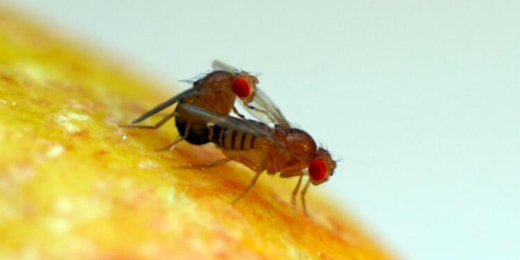 Meyve Sinekleri Neden Dev Spermler Üretiyor?