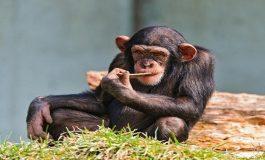 Bebekler, Yabani Ape Aletlerini Kullanmayı İçgüdüsel Olarak Biliyorlar