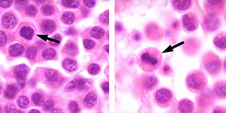 İlk Kez Türler Arasında Bulaşıcı Kanser Keşfedildi