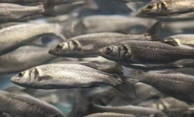 Balık Çiftliklerinde Yetiştirilen Balıklar Yaşamaktan Vazgeçiyor