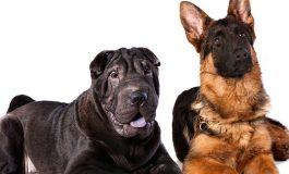 Köpekler Tek Bir Atadan Gelmiyor Olabilir