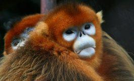 Kalkık Burunlu Maymunlar Ölülerinin Yasını Tutuyor