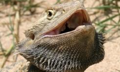 Kertenkelelerde Üçüncü Cinsiyet Dişilerle Rekabet Edebilir