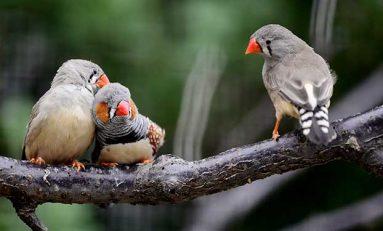 Kuşlar Soyut Dilbilgisi Yapılarını Öğrenebiliyor