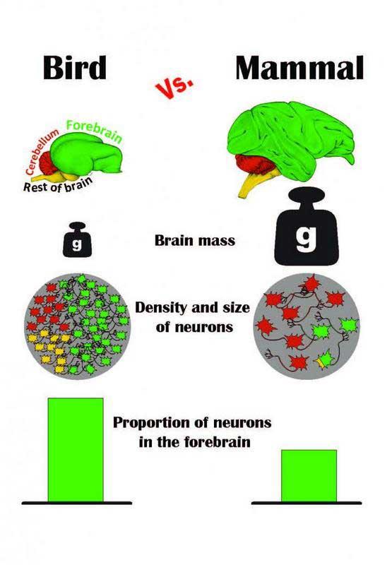 Kuş ve memeli beyinlerinin ön beyin (yeşil bölge) büyüklük oranı, kütle, nöronların yoğunluğu ve boyutu, ön beyindeki nöron oranı bakımından karşılaştırma grafiği görülüyor. (Telif: Pavel Nemec, Charles Üniversitesi, Prag)