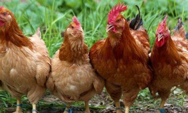 Sakallı Tavukların Gizemi Çözüldü