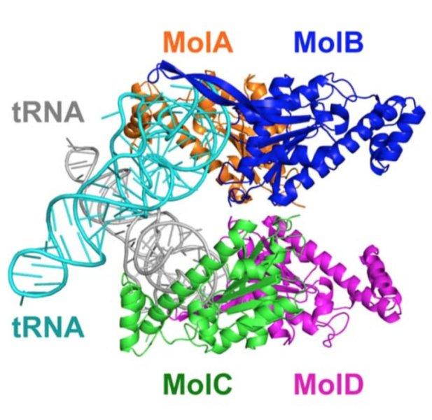 Çalışmada X-ışını kristalografi tekniği ile üç boyutlu yapıları ve birbirlerine göre konumları çözümlenen TLP kompleksi ve tRNA'lar-Telif : Kimura S. et al., Science Advances,