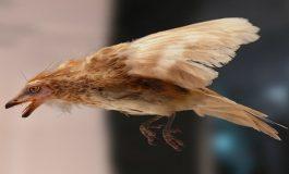 Amber İçerisinde Korunmuş 99 Milyon Yıllık Dinozor Kuşu Kanadı Bulundu