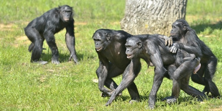 Bonobo Gruplarında Erkek Baskısına Karşı Dişi Dayanışması