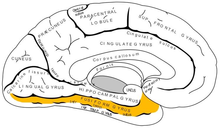 fusiform-gyrus-bilimfilicom