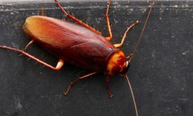 Hamamböceği Sütü Geleceğin Süper-Besini Olabilir