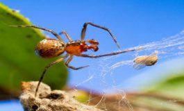 Kişilik Özellikleri Farklı Örümcekler Koloniye Avantaj Sağlıyor