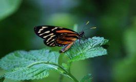 Kelebeklerin Beslenme Düzeni Evrimlerini Etkiliyor