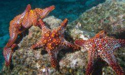 İnsanın Kayıp Hormonu Deniz Yıldızında Bulundu
