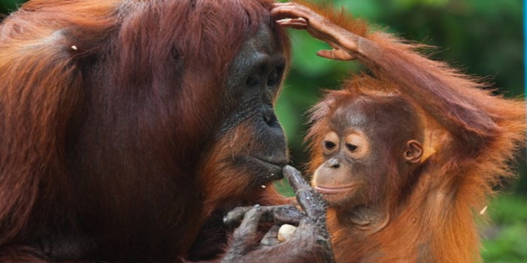 Orangutanların Ses Kontrolü Yeteneği