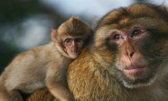 Yaşlı Maymunlar Daha Az Arkadaş Sahibi Oluyorlar