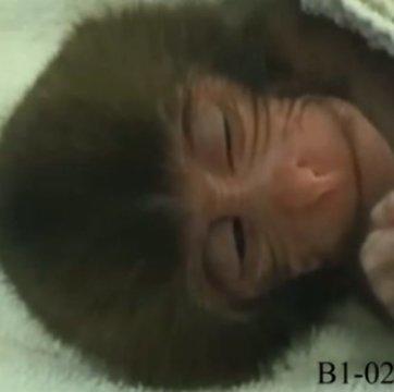 Araştırmada bahsi geçen, bebek maymun ve primatların ortak davranışı olan uykuda gülümseme yüz ifadesi üzerine alınmış bir kayıt. Telif : Kyoto University Primate Research Institute