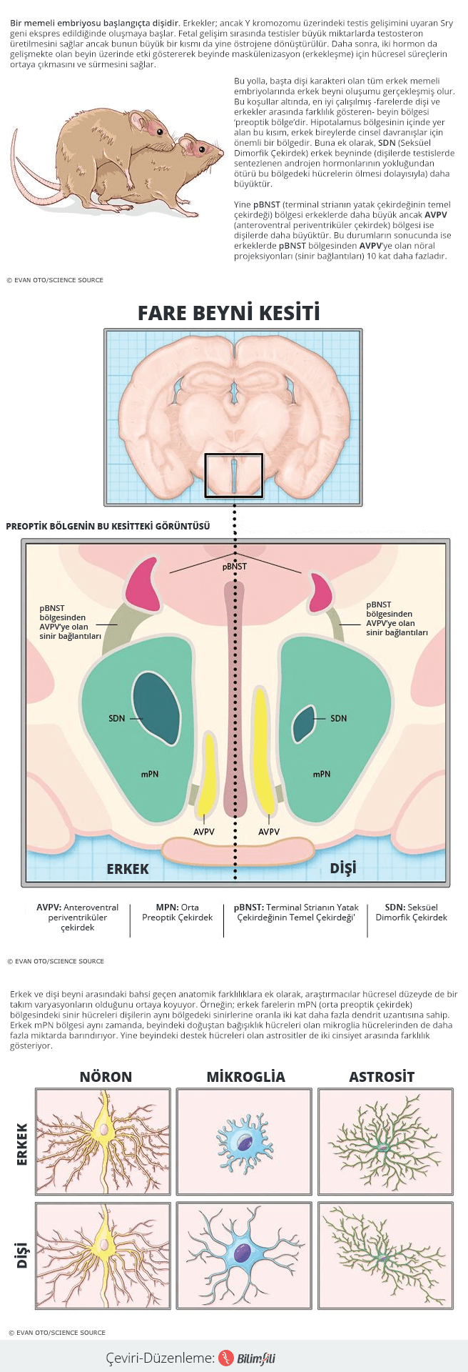 beyinde-cinsiyete-bagli-farklar-var-mi-infografik-bilimfilicom