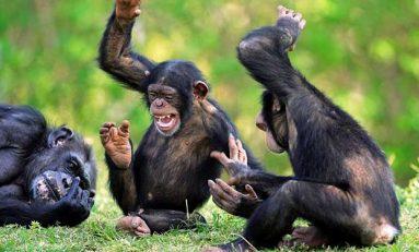 Gülümseyen Bebek Maymunlar ve Gülmenin Kökeni