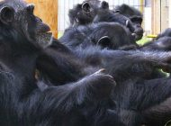 Şempanzeler de İş birliğini Ödüllendirip, Beleşçileri Cezalandırıyor