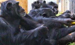 Şempanzeler de İşbirliğini Ödüllendirip, Beleşçileri Cezalandırıyor