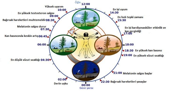 sirkadiyen-ritimler-virus-bilimi- bilimfilicom