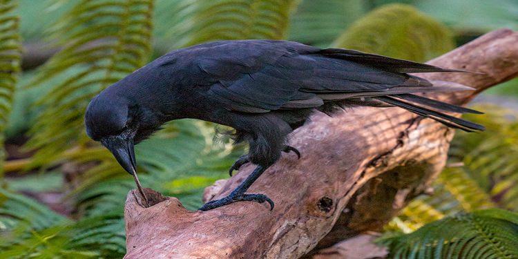 Hawai kargasının yiyeceği çıkarma denemesi. /Ken Bohn/San Diego Zoo Global