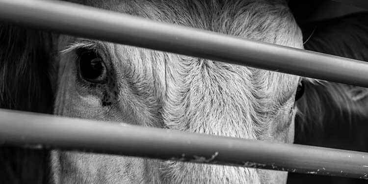 Hayvanlar da Bizim Gibi Acı Çekiyor mu? »