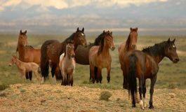 Atlar İşaretle İletişimi Kolayca Öğrenebiliyor