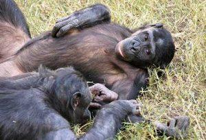 Yavru sahibi olmayan iki dişi bonobo çayırda uzanıyorlar. Kaynak: Emory University, eScienceCommons
