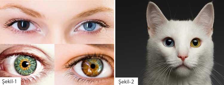 Şekil 1: Tam, merkezi ve parçalı Heterokromi iridum örnekleri Şekil 2: İki gözü birbirinden farklı renkte olan Van kedisi