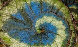 Mavi Yapraklar, Bitkilerin Güneş'ten Daha Fazla Enerji Alınmasını Sağlıyor