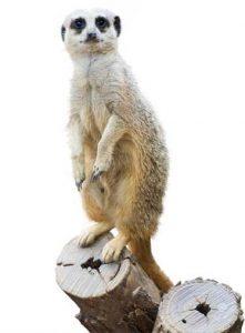 Tür içi cinayet sıralamasında lider; mirket (Suricata suricata)