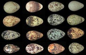 evrimin-oldukca-tuhaf-ve-essiz-canlilari-guillemot-yumurtasi-bilimfilicom
