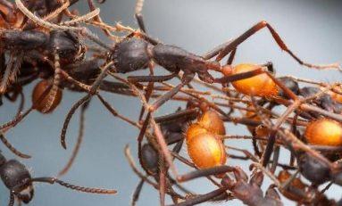 Amerika Coğrafyasının Tarihine Karınca Genomu Işık Tutuyor
