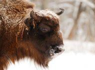 Mağara Resimlerindeki Gizemli Türün Bizon-Sığır Melezi Olduğu Ortaya Çıktı