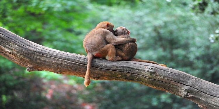 Maymunlar Nasıl Arkadaşlıklar Kuruyor ve Birbirlerini Nasıl Etkiliyor?