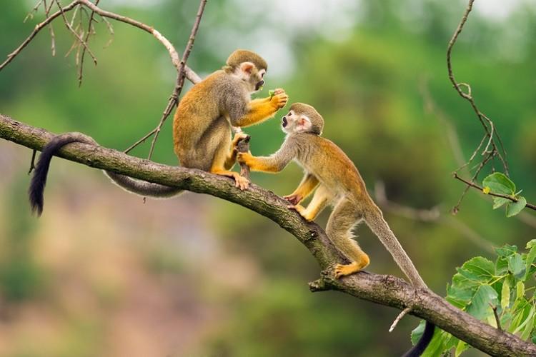 maymunlarda-bariscil-davranislar-bilimfilicom
