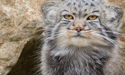 Pallas Kedilerine Barınak Yapılıyor