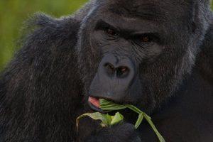 Tıpkı insanlar gibi, gelişmiş primatlar da; stereoskopik (derin görüş) ve çok renkli görüş kapasitesine sahiptir.