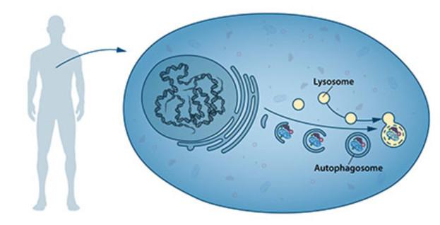 Otofagozomlar iş başında: Parçalanacak hücre içi yapı (kimi zaman organel boyutunda olabilir), yıkım merkezi olan lizozomlara taşınıyor. Telif: (nobelprize.org)