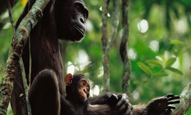 Yavrularına Araç-Gereç Kullanımını Öğreten Şempanzeler İlk Kez Kayda Alındı